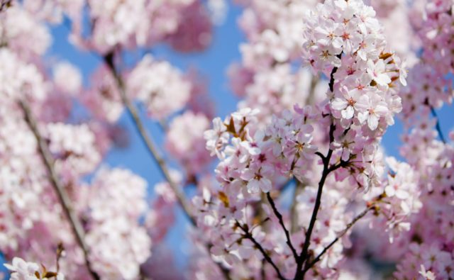 Close up photograph of pink blossom on a tree against a blue sky
